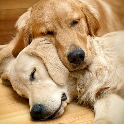 Sleeping dogs lying